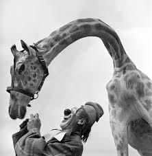 loomis giraffe