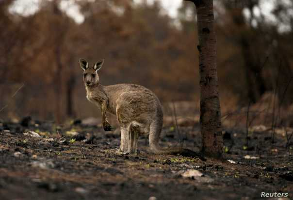 An injured kangaroo limps through burnt bushland in Cobargo